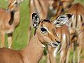 Impala (Aepyceros melampus) young male (14028500396).jpg