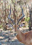Impala in Kruger National Park 01.jpg
