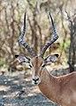 Impala in Kruger National Park 01.jpg