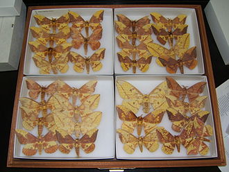 Eacles imperialis - Examples of Eacles imperialis variation