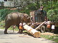 Indian Elephant used for work.JPG