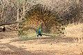 Indian Male Peacock in Victoria Park, Bhavnagar ~ Pradhumansinh R Basia.jpg