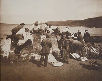 Whale meat - Native American whalers removing strips of flesh from a whale carcase at Neah Bay, Washington, 1910