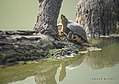 Indian roofed turtle at bharatpur.jpg
