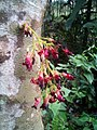 Inflorescence of elimpan puli.jpg