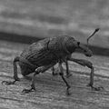 Insect BW (14215123935).jpg