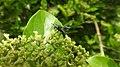 Insects Wasp from Madayipara DSCN2168.jpg