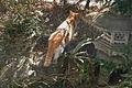 Intruder in my garden (2271868932).jpg
