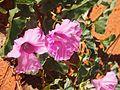 Ipomoea muelleri flowers.jpg