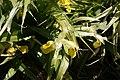 Iris-bucharica-flowers.JPG