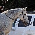 Irish Draft Horse.jpg