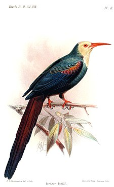 Illustration av John Gerrard Keulemans