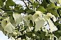 Isabella Plantation, paper handkerchief tree.jpg