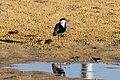 Israel. Spur-winged Plover (6497643525).jpg