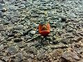 JNU Red Black Bug.jpg