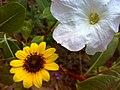 JNU Sunflower with White Flower.jpg