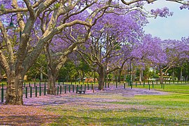 Jacarandai at New Farm-2 (112987193).jpg