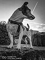 Jack Russell Terrier .jpg