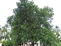 Jackfruit Tree - പ്ലാവ്.JPG