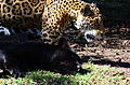 Jaguar cuidando la espalda.JPG