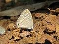 Jamides celeno - Common Cerulean mud puddling at Peravoor (10).jpg
