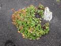Jan Mayen - Blütenpflanzen auf vulkanischem Gestein.png