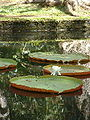 Jardin de Pamplemousses-Nenuphar1.JPG