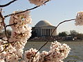 Jefferson Memoiral With Cherry Blossoms.jpg