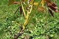 Juglans regia (English Walnut, Persian Walnut) (33613802584).jpg