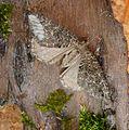 July Highflyer. Hydriomena furcata - Flickr - gailhampshire (4).jpg
