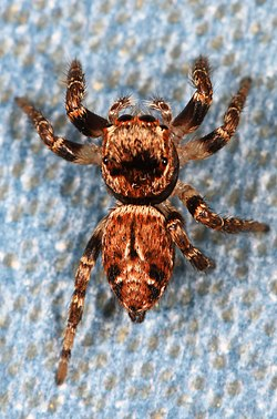 Jumping Spider - Evarcha proszynskii, near Bassetts, California.jpg