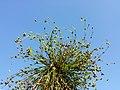 Juncus sphaerocarpus sl4.jpg