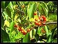 June Flower ^ Cherry Farming Endingen Kaiserstuhl - Master Seasons Rhine Valley Photography 2013 - panoramio (29).jpg