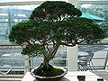 Juniperus chinensis sargentii bonsai.JPG