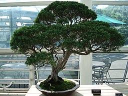 bonsai d'un genevrier de chine