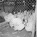 Kalkoenfokkerij in Beit Herut Ren met kalkoenen, Bestanddeelnr 255-4607.jpg