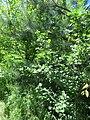 Kaniv Nature Reserve (May 2018) 54.jpg