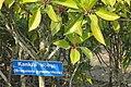 Kankra (Bruguiera gymnorrhiza) mangrove forest tree.jpg