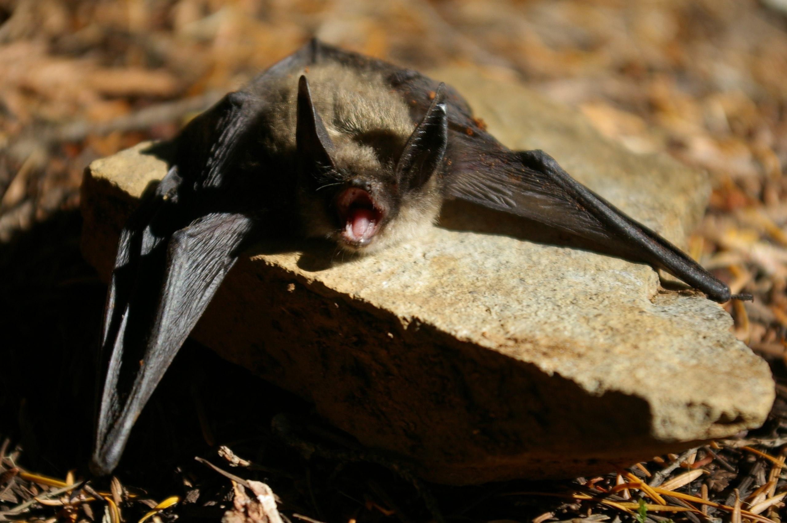 Keen's Myotis Bat