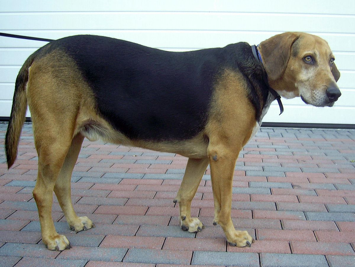 Kerry Beagle Wikipedia