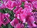 Keukenhof, tulips (33472013006).jpg
