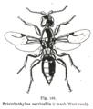 Kieffer - Trachepyris serricolis female.png