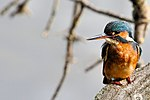 Kingfisher - Lackford Lakes (37465987782).jpg