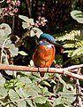 Kingfisher 4 (3951017628).jpg