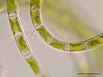 Klebsormidiaceae - Klebsormidium bilatum