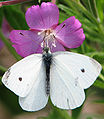 Kleiner Kohlweissling Pieris rapae 2.jpg