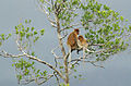 Klias Wetlands Proboscis Monkey 02.jpg