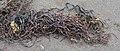 Knotted Wrack (Ascophyllum nodosum) - Gooseberry Cove Provincial Park, Newfoundland 2019-08-10.jpg