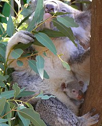 200px-Koala_with_young.JPG