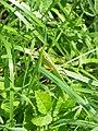 Kobylka v trávě.jpg